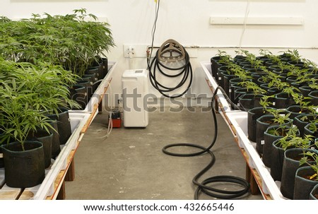 SUN VALLEY, CA - MAY 26, 2016: Marijuana plants lined on tables in pots in a marijuana grow room at a medical marijuana dispensary in Sun Valley, CA on May 26, 2016.