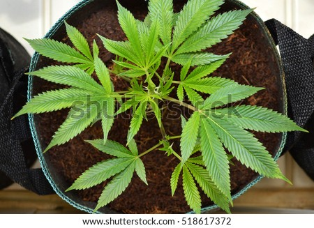 SUN VALLEY, CA - MAY 26, 2016: Overhead shot of a marijuana plant in a round pot at a medical marijuana dispensary in Sun Valley, CA on May 26, 2016.