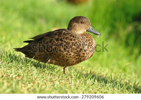 Sunbathing female duck - stock photo