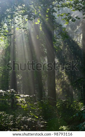 Sunbeam entering rich deciduous forest in misty morning - stock photo