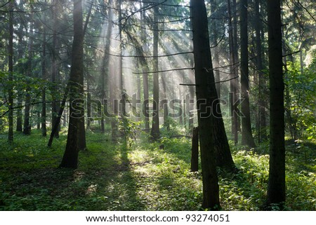 Sunbeam entering rich deciduous forest in misty morning rain after - stock photo