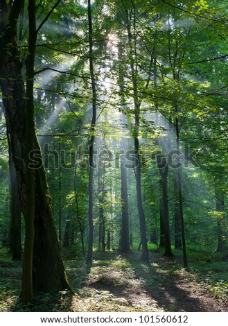 Sunbeam entering rich deciduous forest in misty morning with old birch tree in foreground - stock photo