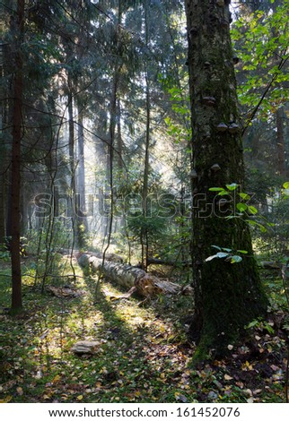Sunbeam entering rich deciduous forest misty morning with old birch tree in foreground - stock photo