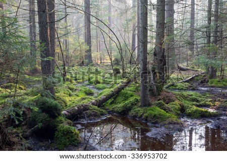 Sunbeam entering swampy coniferous forest misty morning with old spruce and pine trees - stock photo