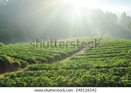 Sunbeam shining above strawberry fields. - stock photo