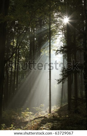 Sunbeams enters the dark coniferous forest on a misty autumn morning. - stock photo