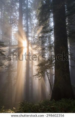 Sunbeams in misty redwood tree forest. - stock photo