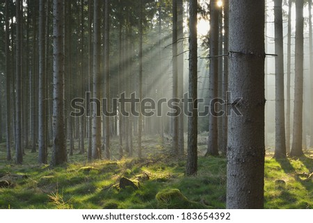 Sunbeams in Natural Spruce Forest - stock photo