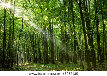 Sunbeams pour through trees in early morning grove - stock photo