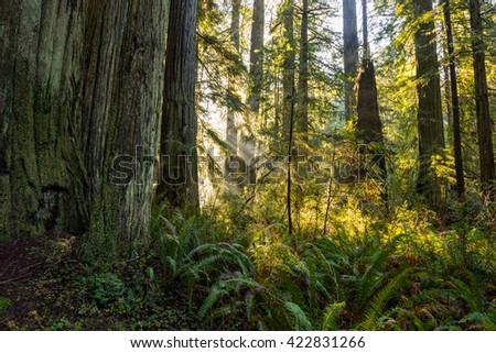 sunbeams shining into a lush redwood forest