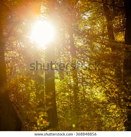 Sunbeams trough autumnal fall trees in park. Sunlight in autumn forest