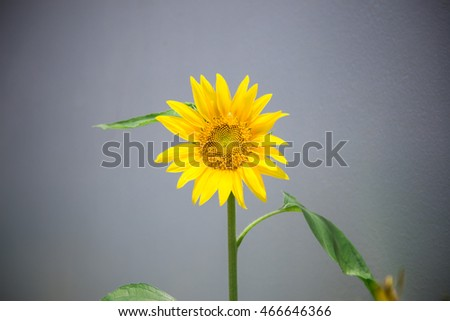 sunflower
