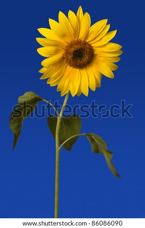 Sunflower against a blue background - stock photo