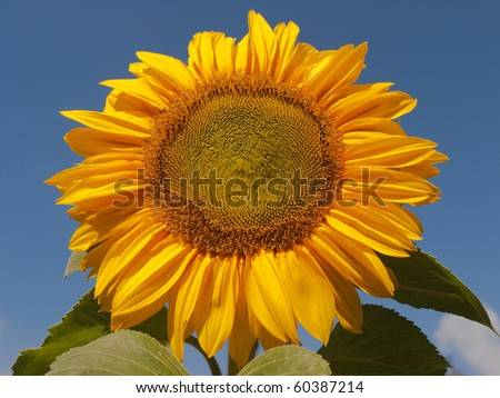 Sunflower against a blue sky - stock photo