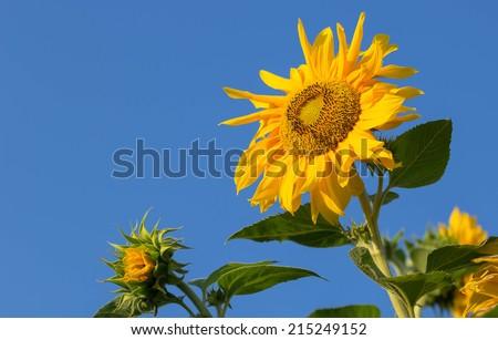 sunflower against blue sky - stock photo