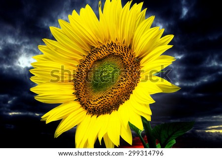 Sunflower and a dark sky with clouds / Sunflower - stock photo