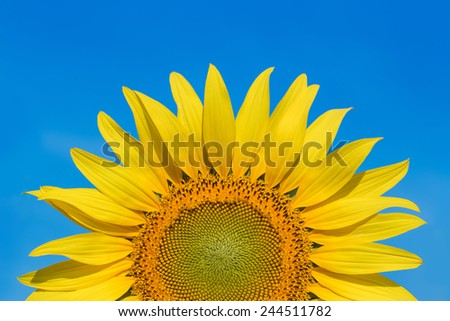 sunflower and blue sky - stock photo