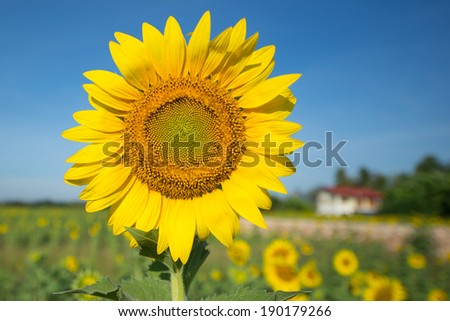 sunflower and house - stock photo