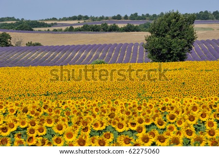 Sunflower and Lavender field in Provence - stock photo