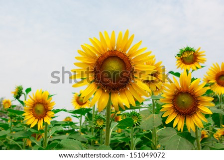 Sunflower at sunny summer day