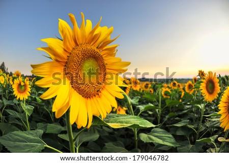 sunflower at sunset - stock photo