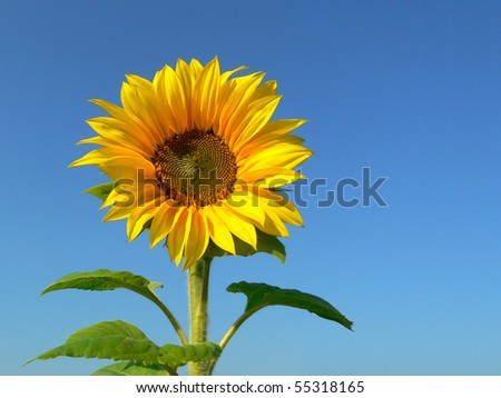 Sunflower background against blue sky - stock photo
