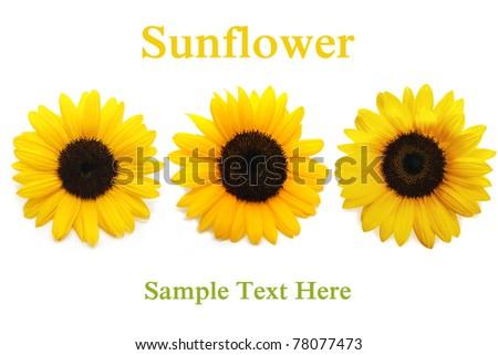 Sunflower background. On white background - stock photo
