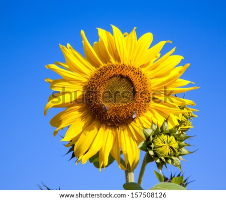 sunflower background with bee and blue sky - stock photo