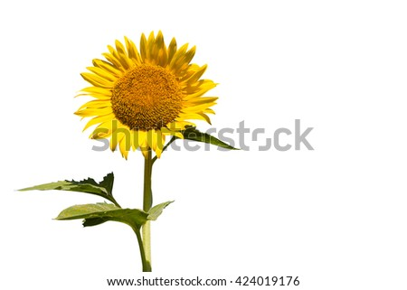 Sunflower, big round yellow flowers.  isolated-on-white-background  - copy space