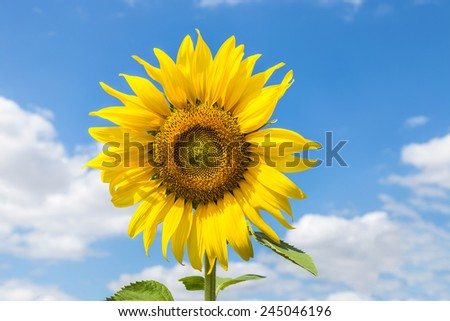 sunflower blooming on blue sky background - stock photo