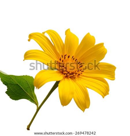 Sunflower blossom on white background - stock photo