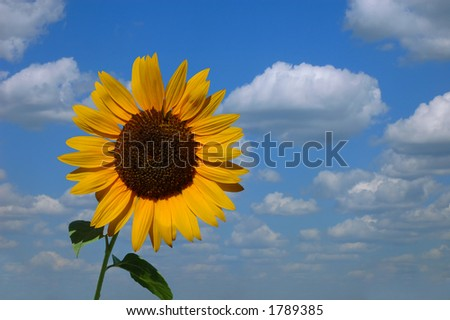 Sunflower blue cloudy skyscape