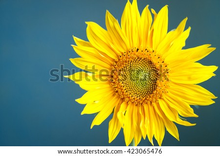 Sunflower. Bright yellow sunflower blooming over blue background. - stock photo