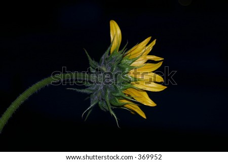 Sunflower Bud in the Evening - stock photo