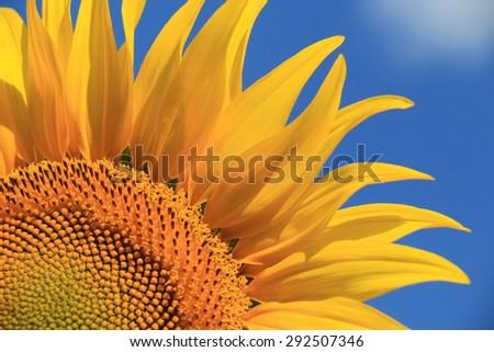sunflower close-up - stock photo