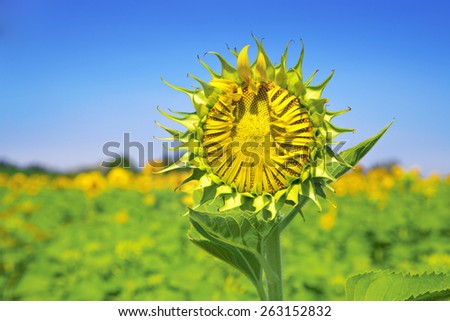 Sunflower close up agriculture garden on blue sky background. this flower breed for produce oil grow in field at Lopburi Thailand. - stock photo