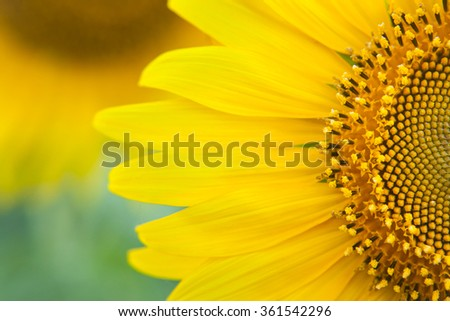 Sunflower close up. Bright yellow sunflowers. Sunflower background. - stock photo
