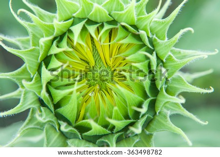 Sunflower close up. Bright yellow sunflowers. Sunflower background. Before flowering sunflower. Sunflower bud. - stock photo