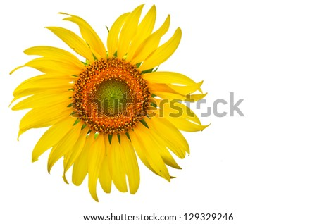 sunflower close up isolated - stock photo
