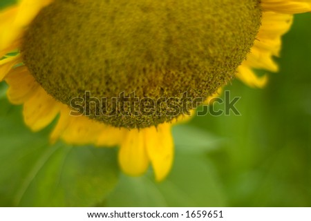 Sunflower close-up with a short depth of field - stock photo