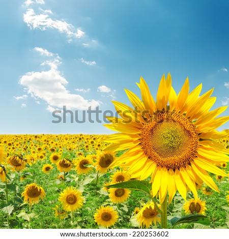 sunflower closeup on field under blue sky - stock photo
