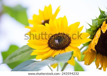 sunflower closeup plant - stock photo