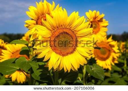 Sunflower closeup with some defocused flowers at back, Stavropol krai, Russia - stock photo