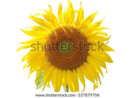 Sunflower Color on a white background