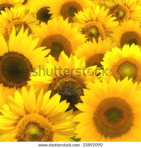 Sunflower composition background