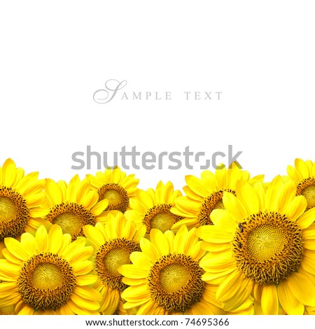 Sunflower details on white background. - stock photo