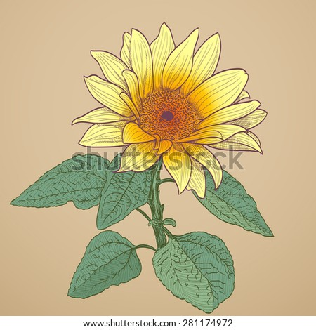 sunflower drawing  - stock photo