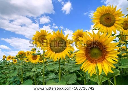 stock-photo-sunflower-field-103718942.jp