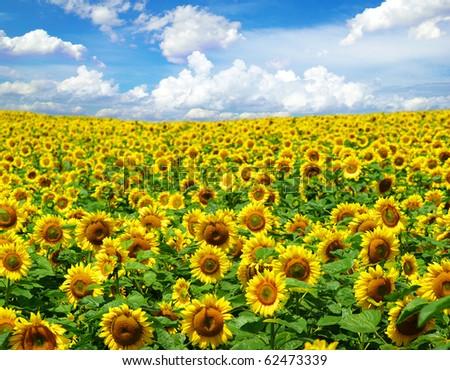 sunflower field - stock photo