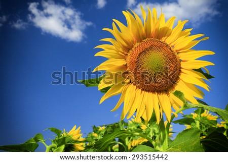 sunflower field and sky - stock photo